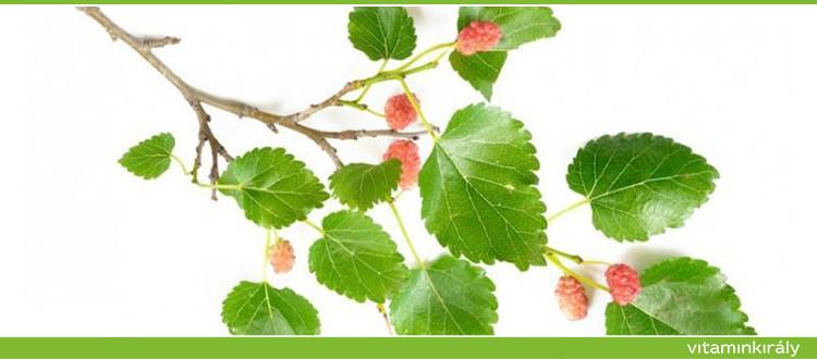 Az eperfa levele értékes a diabétesz természetes kezelésében.